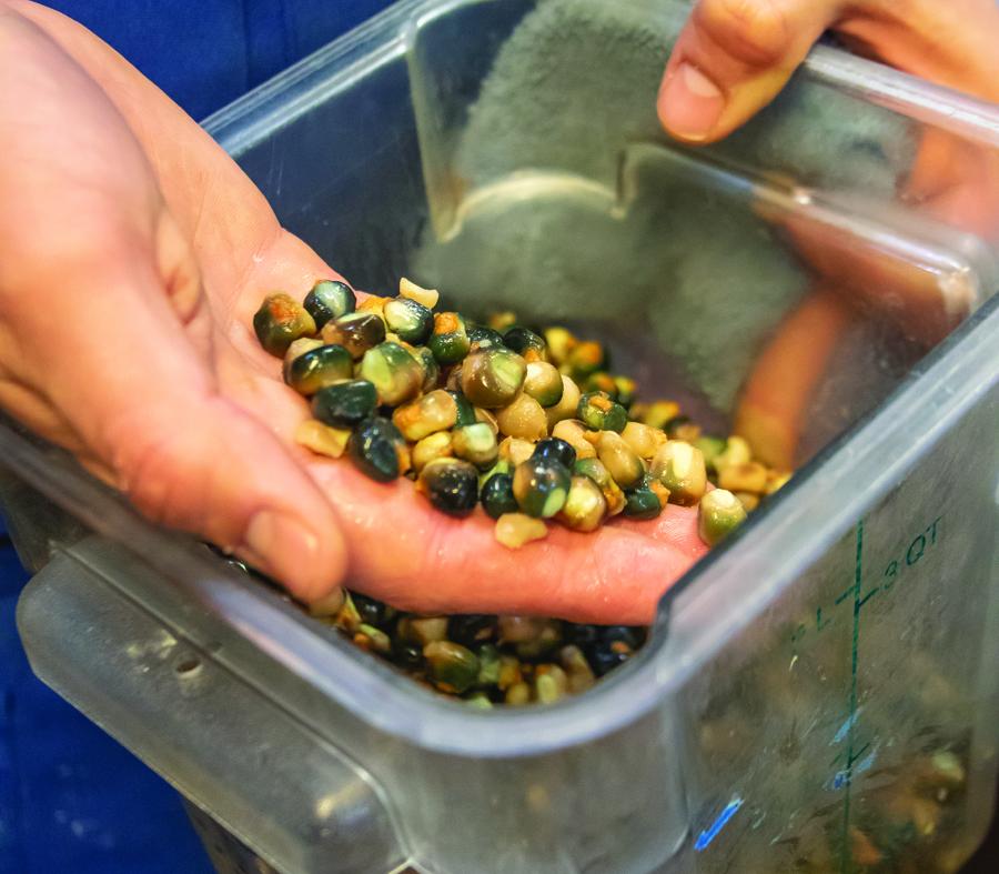 Nixtamalized blue corn kernels.