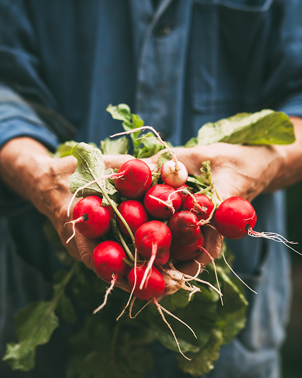 hands holding bunch of radishes