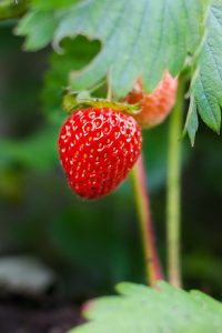 Strawberry container gardening