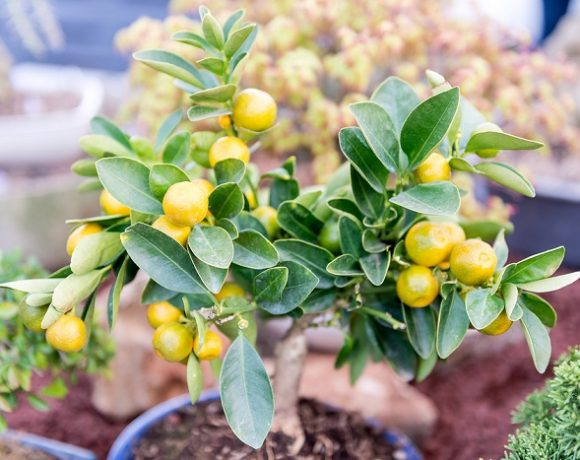 Small dwarf tangerine tree