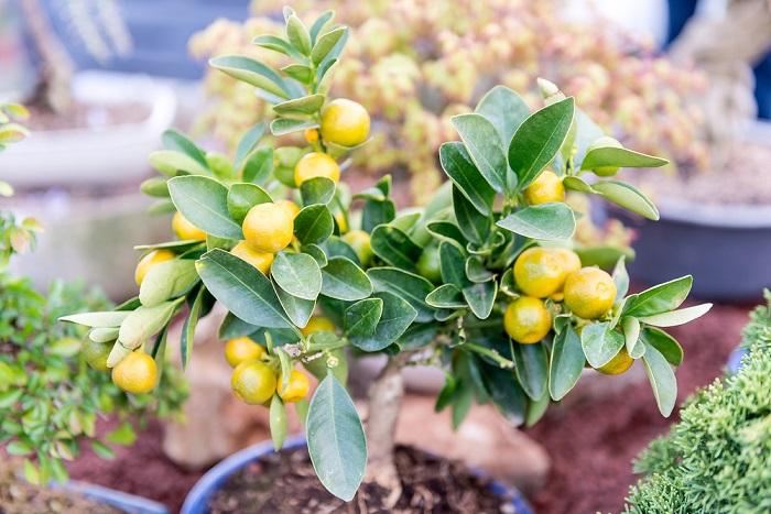 Small dwarf tangerine tree