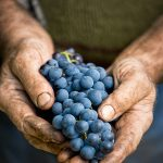 hands holding a bunch of wine grapes