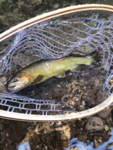 gila trout in a net