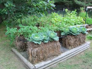 straw bale gardening cabbage