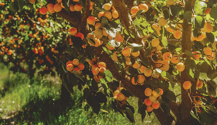 orchard of apricot trees