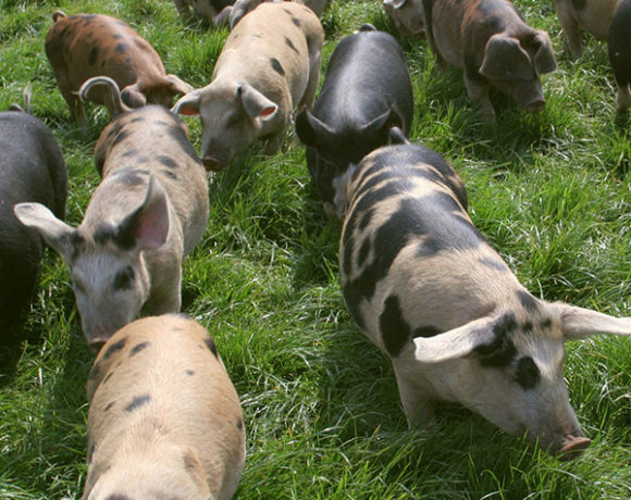 gloucestershire old spots hogs in a field