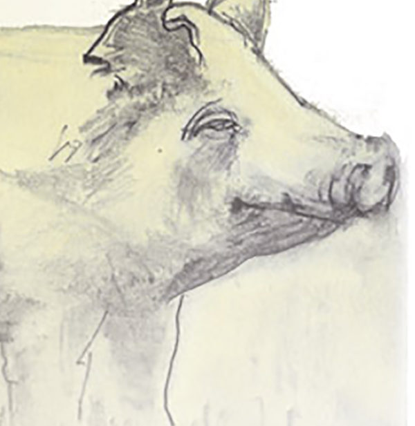 drawing of a hog