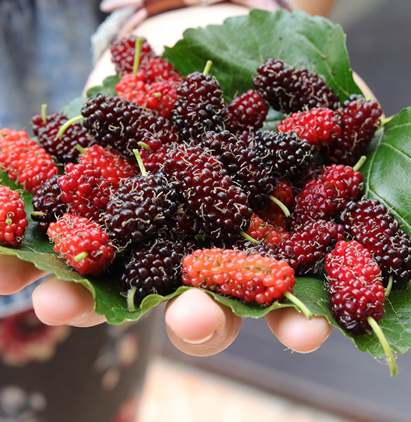Here We Go Round The Mulberry Bush Edible Communities