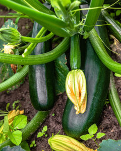 zucchini plant with blossoms