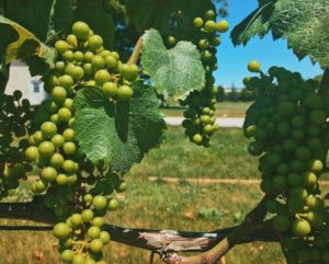 grapes at Bedell winery
