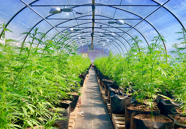 hemp plants in greenhouse