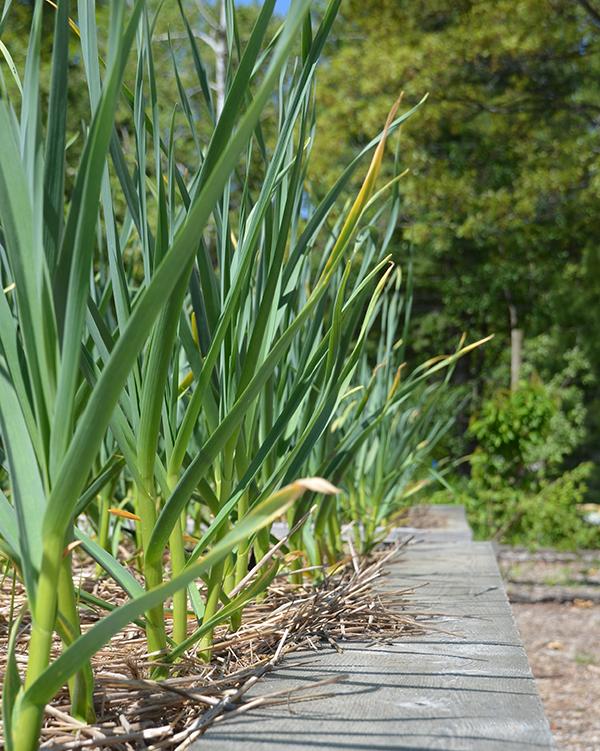 garlic beds at Interlochen