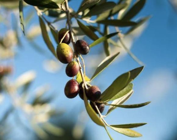 olives on tree branch
