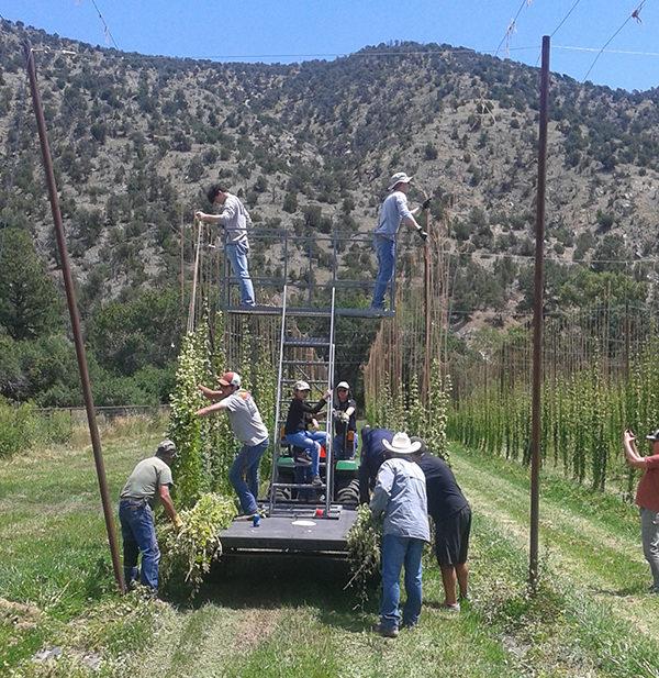 planting hops