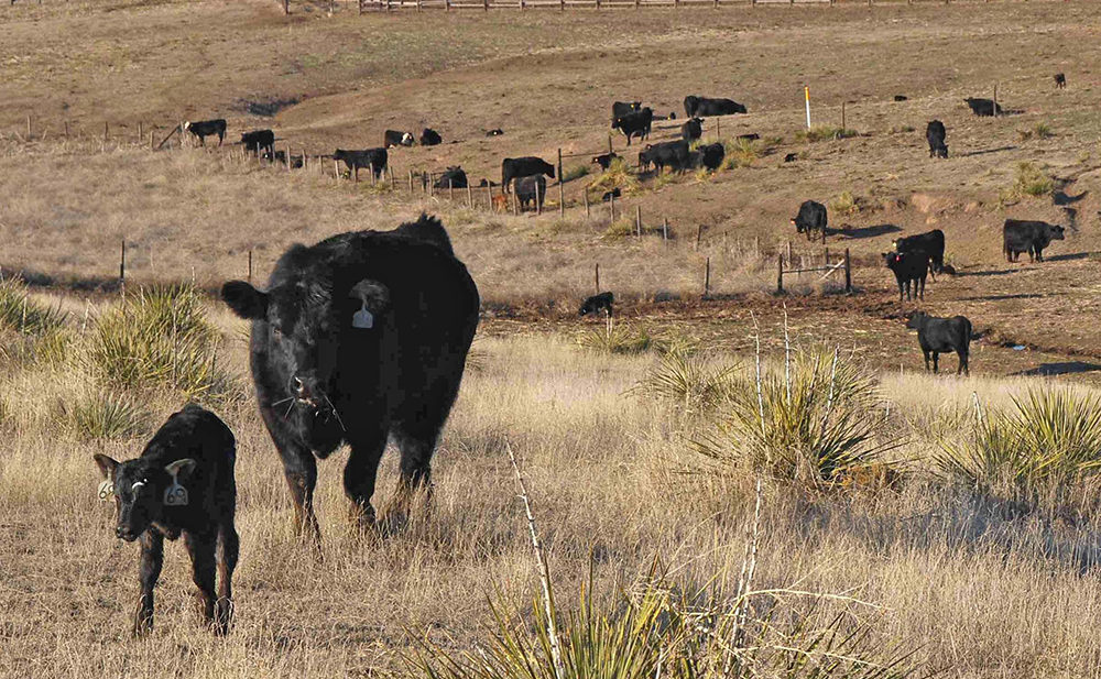 Black cows grazing on grass
