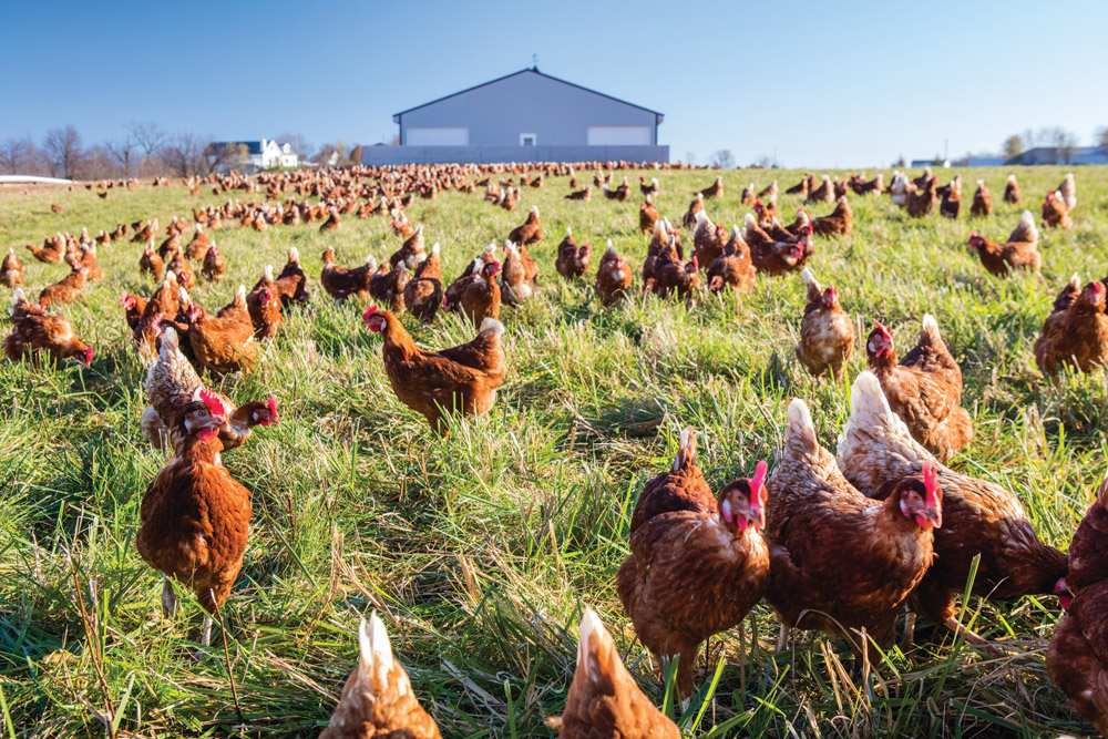 Pasture raised chickens at Blue Sky Farms