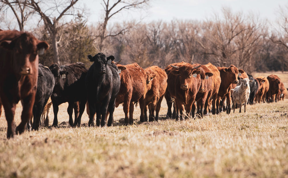 Cattle graze on rotation at family ranch in Panorama Organics network of ranchers