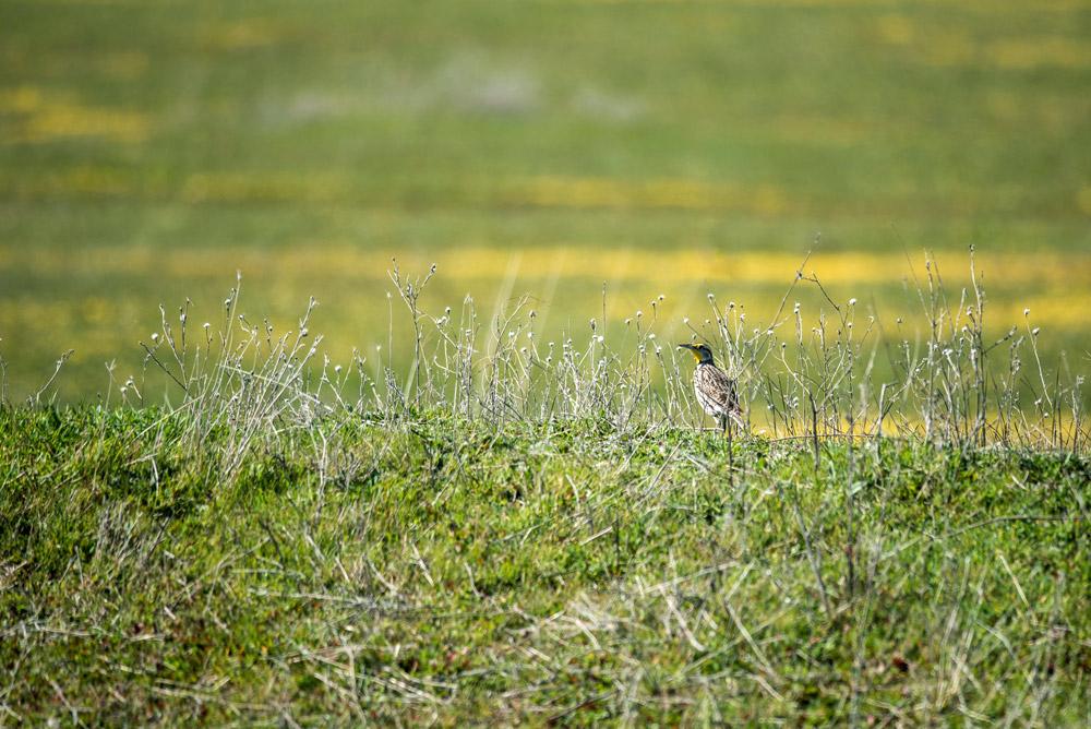 Western meadowlark on regenerative grasslands on a Panorama family ranch